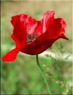 coquelicot angèle.jpg